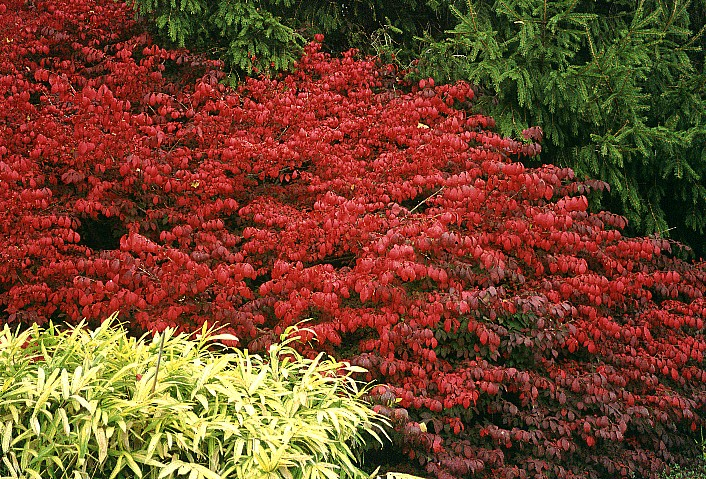 November Plant Of The Month Euonymus Alatus Cultivars