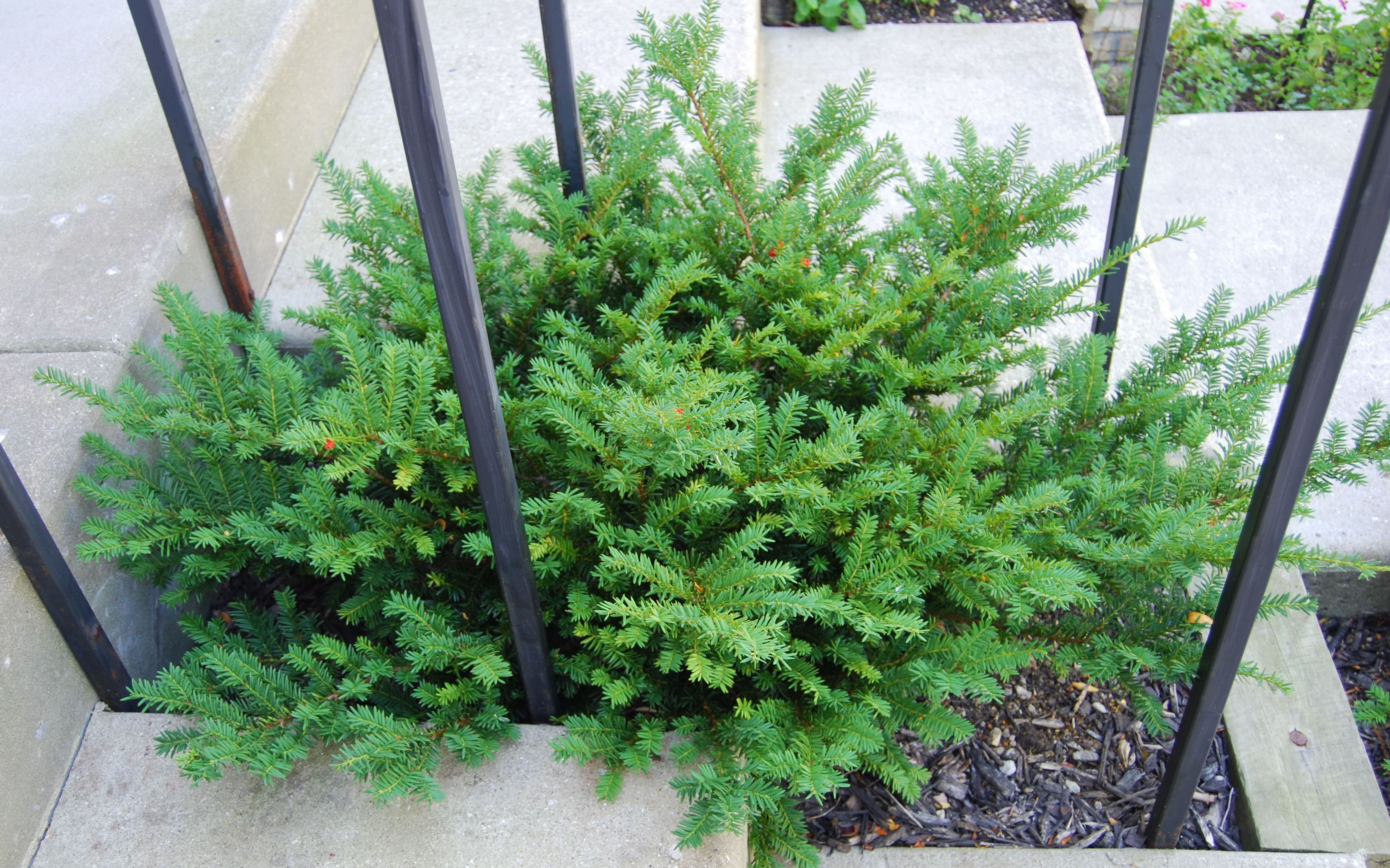 Plant Of The Month Taxus X Media Tauntonii Gardening In The Mud