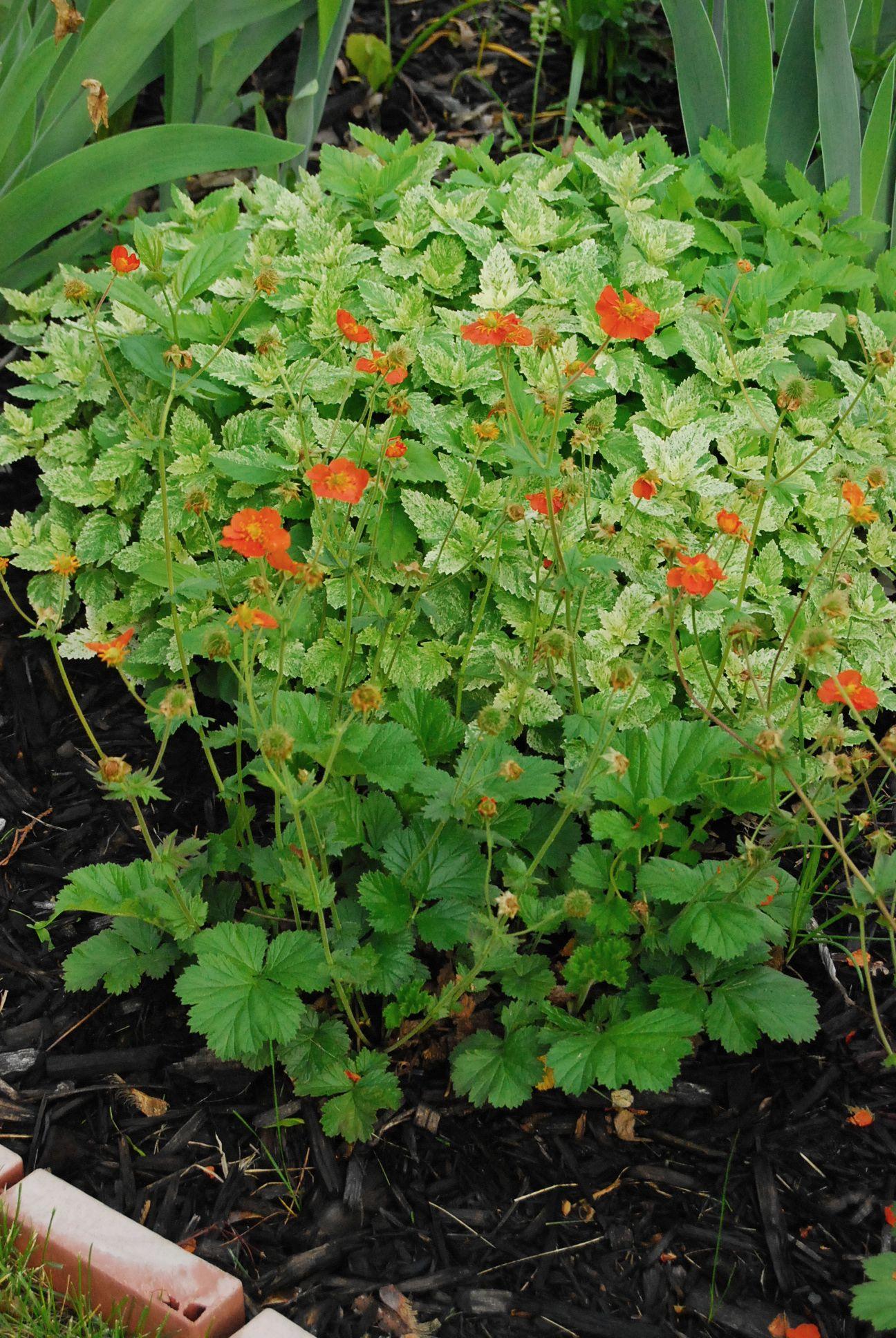 Geum coccineum cooky gardening in the mud geum coccineum cooky mightylinksfo