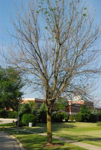 Green Ash killed by the Emerald Ash Borer