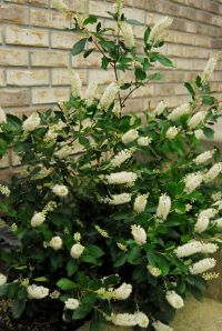Four-year old Clethra 'Vanilla Spice'