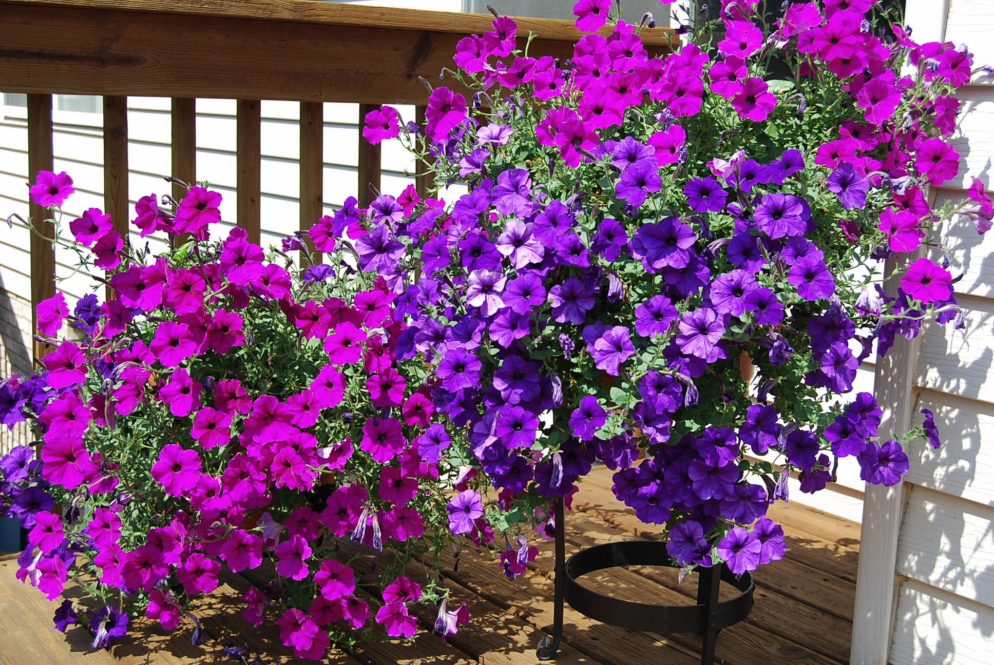 Plant Of The Month Trailing Petunias Gardening In The Mud
