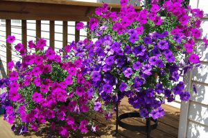 Original Wave Petunias