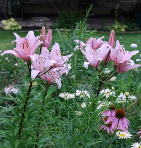 Pink Asiatic Hybrid Lily