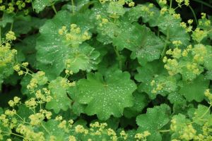 Alchemilla mollis 'Thriller' after a rain shower