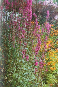 Lythrum salicaria in a colorful border