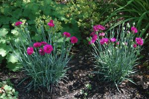 Dianthus 'Waterloo Sunset'