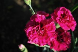 Dianthus ' Waterloo Sunset' flower