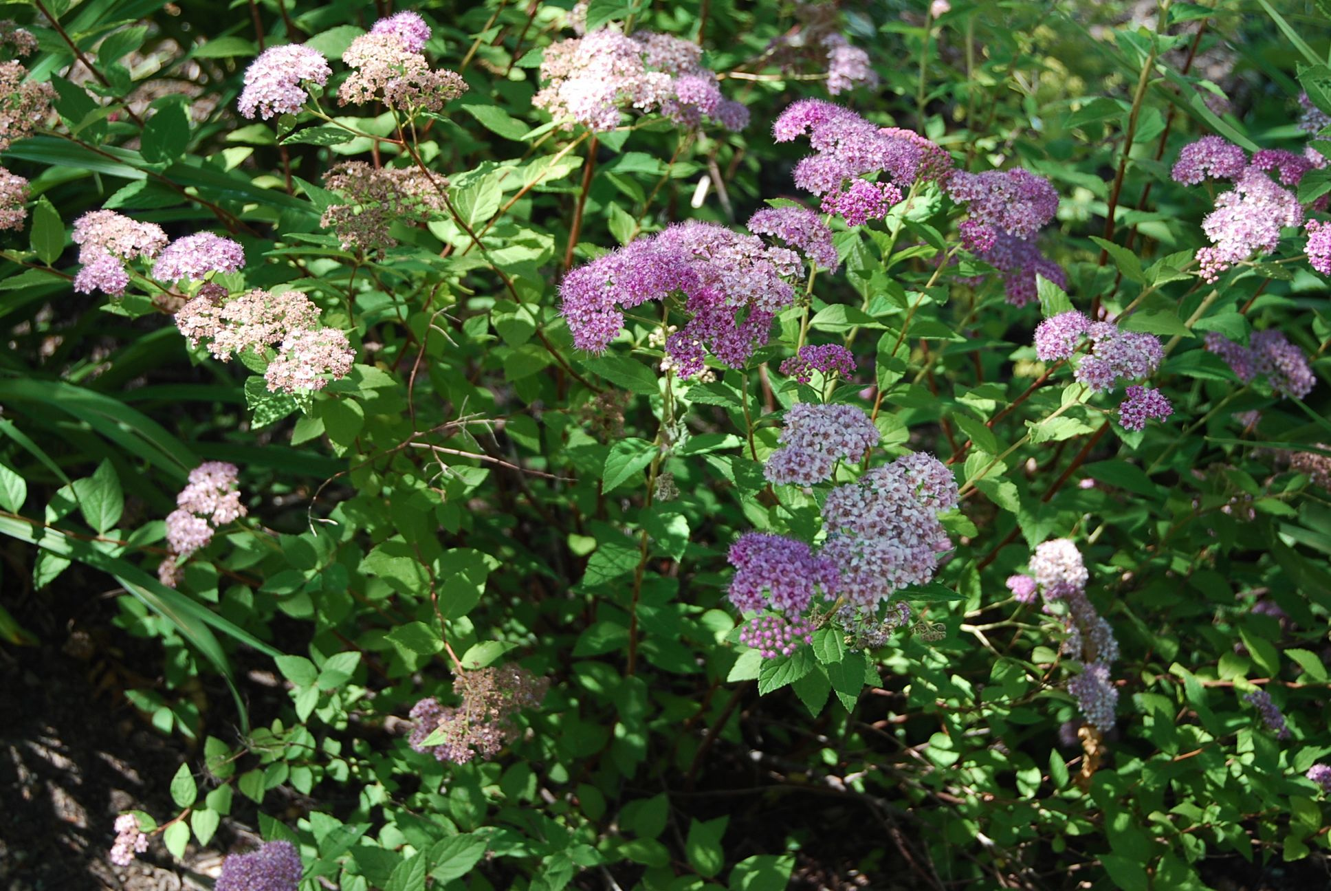 Plant Of The Month Spiraea Japonica Little Princess
